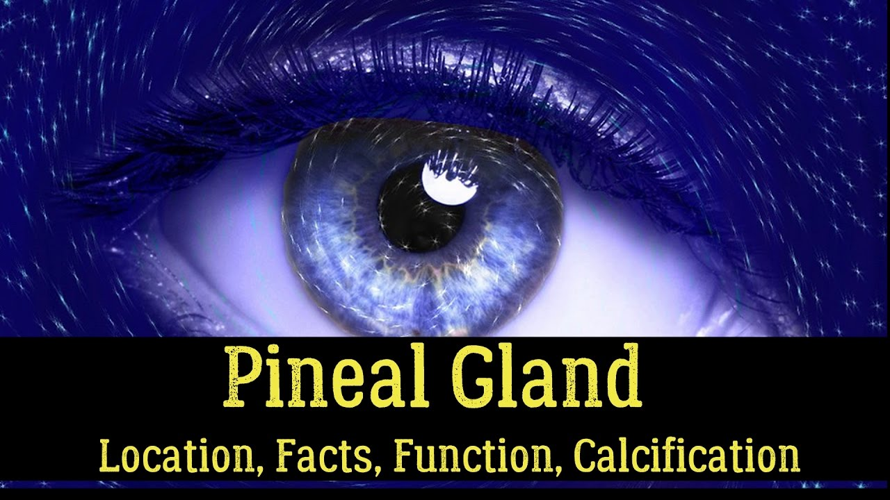 Pineal Gland � Location, Facts, Function, Calcification, Cyst, Fluoride