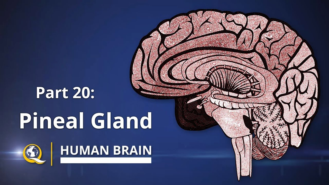Pineal Gland - The Gateway to Expanded Consciousness - The Human Brain Series